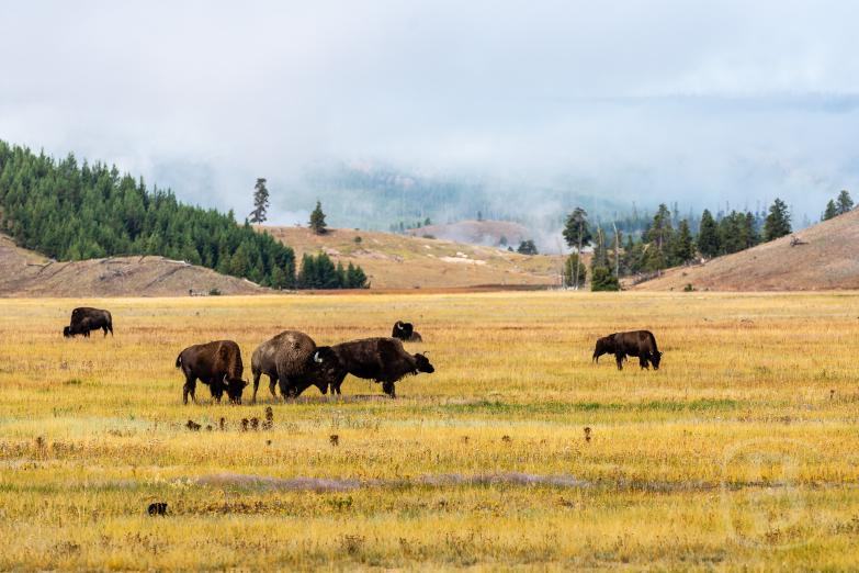 Yellowstone NP | Bison Herde